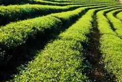 Row of tea trees Stock Photography