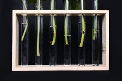Test glass vases in wooden frame with plant stem cuttings waiting for rooting during propagation on dark background stock images
