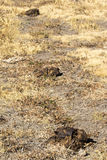 Row of three bison scat (feces). In open grass field Stock Photography