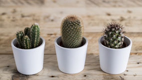 Row of three cactus plants Royalty Free Stock Images