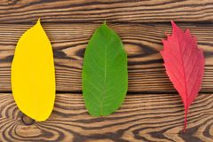 Row of three fallen autumn leaves red yellow and green color. On old worn rustic brown wooden table stock photos