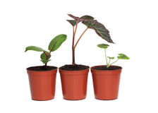 Row of Three Plant Seedlings Royalty Free Stock Images