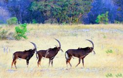 A row of three sable antelopes walking across the african savannah in Hwange National Park, Zimbabwe. Three beautiful Sable Antelopes walking across the dry stock photos