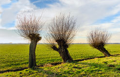 Row of three willow trees next to a small ditch. Straight and skew pollard willow trees togehter in a rural landscape. It is a sunny and cloudy day in the Dutch Royalty Free Stock Image