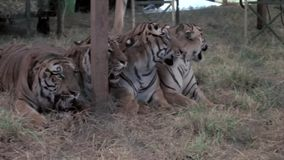 Row of tigers performing in circus stock video footage