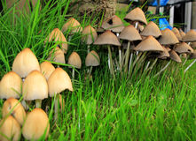 Row of toadstools. Close up view of Sulpher tuft toadstools Stock Image
