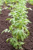 Row of tomato. Row of green blooming tomato plant Royalty Free Stock Photography