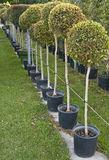 Row of tree seedlings Royalty Free Stock Images