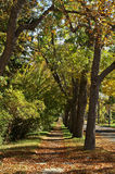 Row of Trees. Row of deciduous trees makes a tunnel to walk through as your feet crunch on the fallen leaves Royalty Free Stock Images