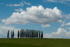 Row of trees. A row of trees at the top of a pasture of cows with fluffy white clouds Royalty Free Stock Photos