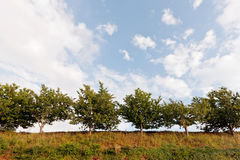 Row of Trees against blue sky clouds Stock Photo