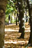 Row of Trees. In autumn forest. there were many colors of leaves, but tree trunks themselves were also wonderful Royalty Free Stock Photography