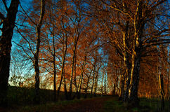Row of trees in the Autumn at Sunset. With road Royalty Free Stock Photo