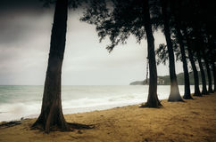 Row of trees on beach. Even row of old growing trees on sandy beach of Kamala, Phuket island Royalty Free Stock Image