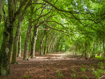 Row of trees. Row of beach trees in forest with bright green summer foliage Stock Photos