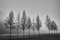 A row of trees in black and white Stock Photo