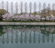 Row of Trees with Cherry Blossom Flowers Blooming by The Lake at Dusk Royalty Free Stock Image