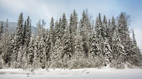 Row of Trees Covered in Snow Royalty Free Stock Photo