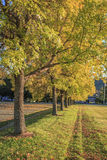 Row of trees with fall foliage. Sunset  light on a row of yellow leafed trees in New Hampshire Stock Images