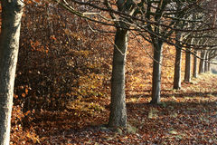 Row of trees and fall leaves. Row of trees and fallen autumn leaves royalty free stock photography