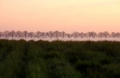Row of Trees in a field Royalty Free Stock Image