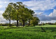 Row of Trees in a Field Royalty Free Stock Photography