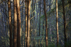 Row of Trees in Forest Stock Images