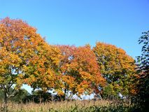 Row of trees with golden autumn leaves in full sun royalty free stock photo