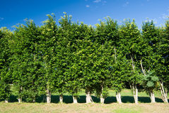 Row of trees green wall Stock Photo