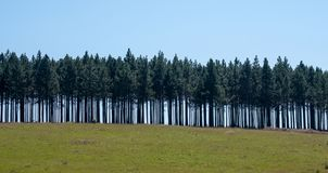 Row of trees high up on the hill above The Berlin Falls, waterfalls in the Blyde River Canyon, Graskop, South Africa
