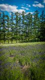 A row of trees with a lavender field stock photo