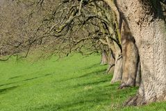 Row of trees on a meadow. Row of apple trees on a green meadow in early spring stock image
