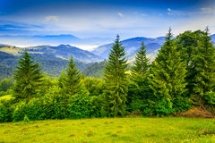 Row of trees in mountains. Row of trees on the edge of a clearing in the mountains Stock Photos
