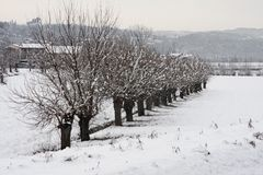 Row of trees mulberries on the river embankment in winter after Stock Photos