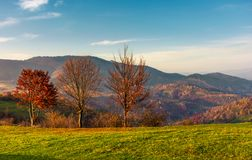 Row of trees with red foliage on a grassy slope. Beautiful autumnal countrye landscape of Carpathian mountains Stock Image