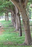 Row trees. Roe trees are beautiful and wonderful Stock Photography