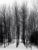 Row of Trees. Rows of trees against snowy sky Royalty Free Stock Photos
