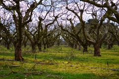 Row of trees. Rows of trees in spring Stock Images