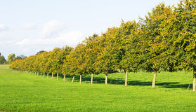 A Row of Trees Set in Grass Royalty Free Stock Photos