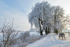 Row of trees in the snow. Stock Images