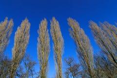 Row of trees. Row of tall thin leafless trees under blue sky Stock Photo