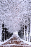 Row of trees in Winter with falling snow. Royalty Free Stock Photo