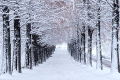 Row of trees in Winter with falling snow. Stock Images