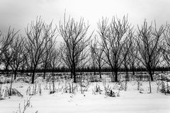 Row of trees in winter scenery. Plum orchard in winter scenery Stock Image