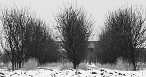 Row of trees in winter scenery. Plum orchard in winter scenery Stock Photo