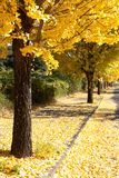 Row of trees with yellow leaves ginkgo Royalty Free Stock Image