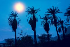 Row of tropic palm trees against night blue sky Stock Photos