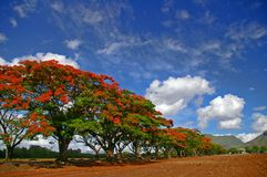 Row of tropical flame trees Royalty Free Stock Photos