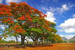 Row of tropical flame trees Royalty Free Stock Photo