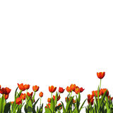 Row of tulip. On white isolated stock photography